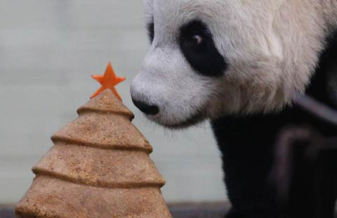 Giant panda receives Christmas treat