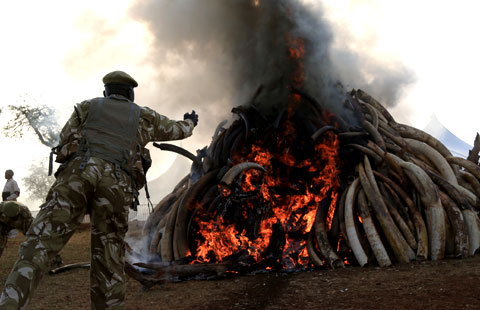 Kenya burns 15 tonnes of confiscated ivory in fighting poachers